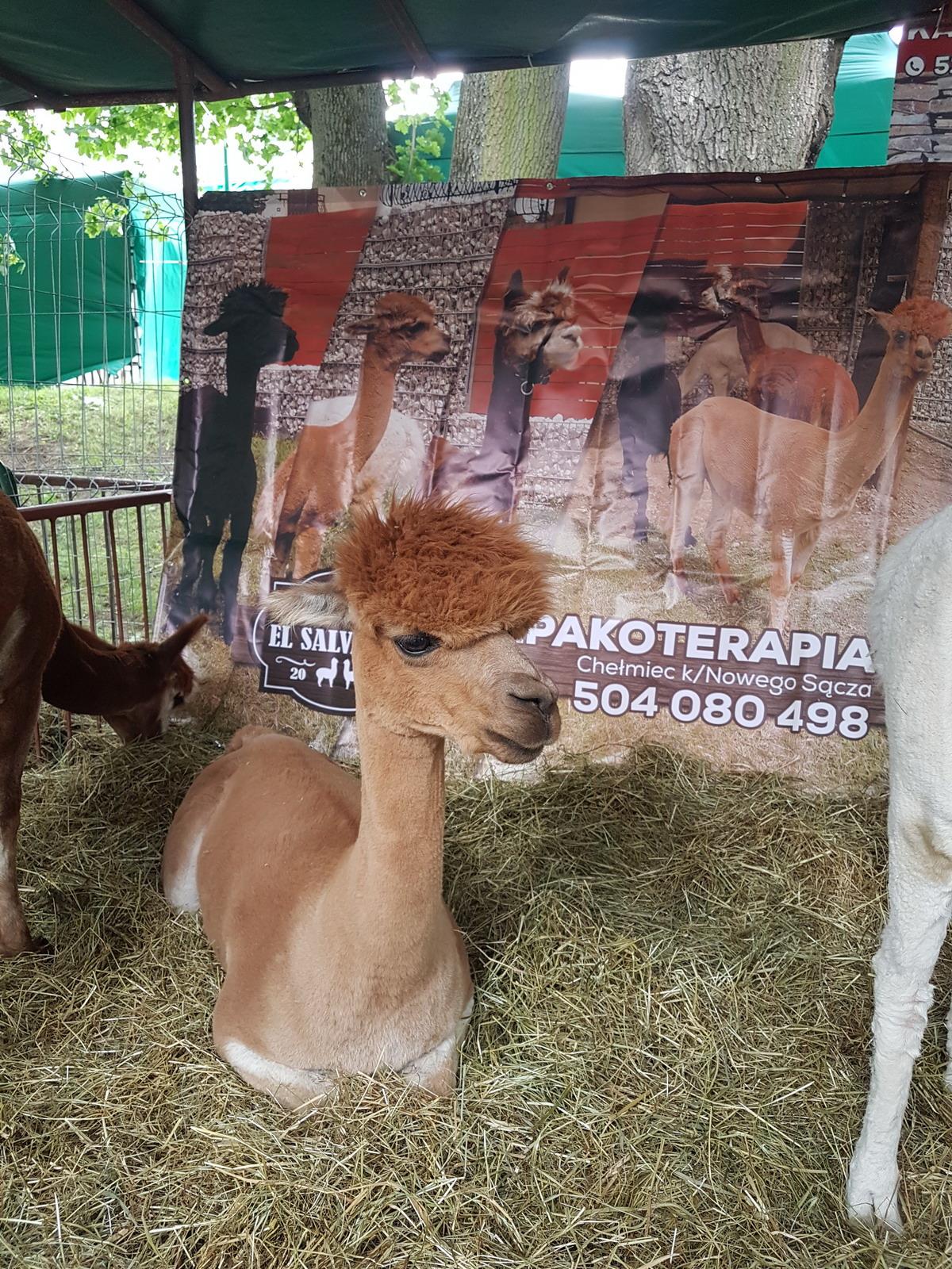 Hodowla Alpak EL SALVADOR, alpakoterapia, wyroby z wełny alpak, alpaki